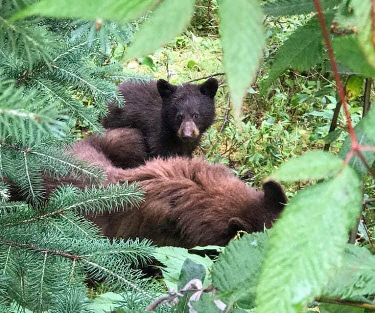 Brown Bear and cub in Mendenhall Glacier park