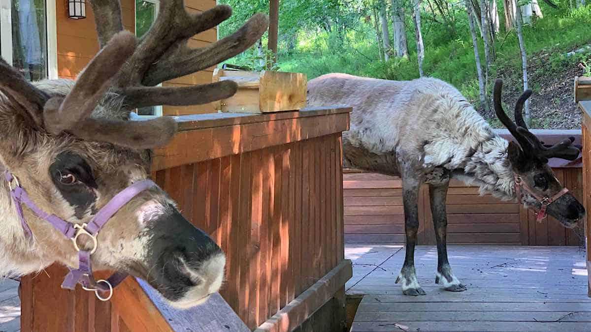 Reindeer on the deck of Running Reindeer Ranch guest house.