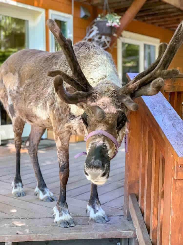 a reindeer on the deck at running reindeer ranch fairbanks alaska