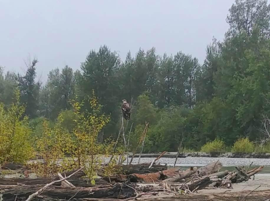 Juvenile bald eagle perched on a tree in the Bald Eagle Preserve.